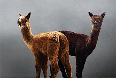 Velieris uses a unique blend of alpaca wool to create high-quality carpet and rugs.