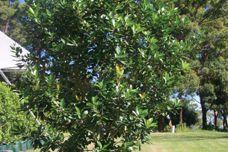 Tristaniopsis laurina (Luscious)